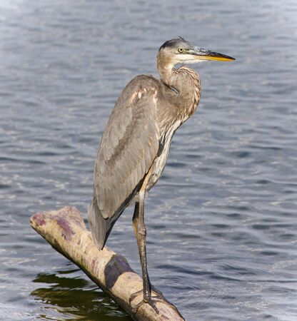 Photo of a great blue heron standing on a log