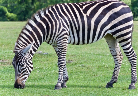 Picture with a zebra eating the grass on a field Stock Photo
