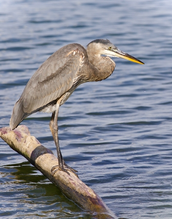 Photo of a great blue heron watching somewhere Stock Photo