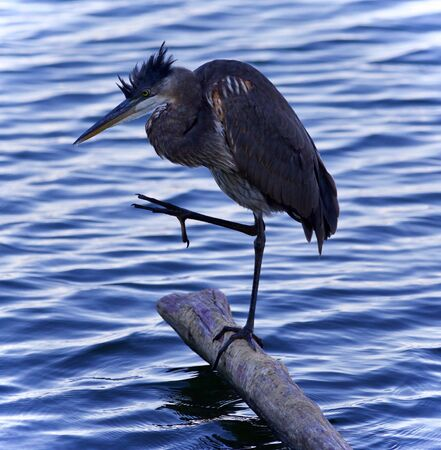 Postcard with a great blue heron cleaning feathers