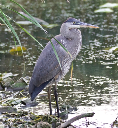 Photo of a great blue heron standing in the mud Stock Photo
