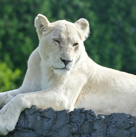 Beautiful postcard with a white lion looking aside Stock Photo