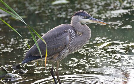 Image of a great blue heron standing in the mud