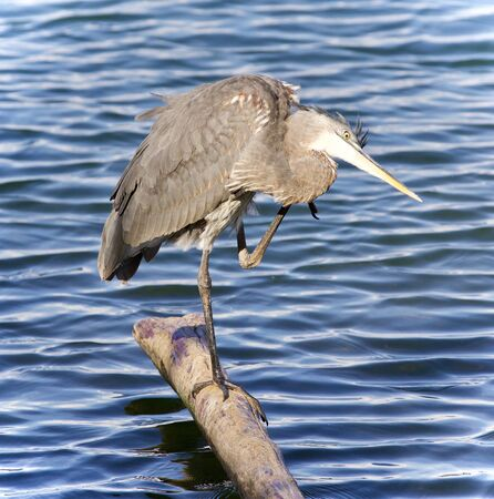 Picture with a great blue heron cleaning feathers Stock Photo