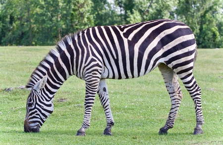 Isolated image of a zebra eating the grass Stock Photo