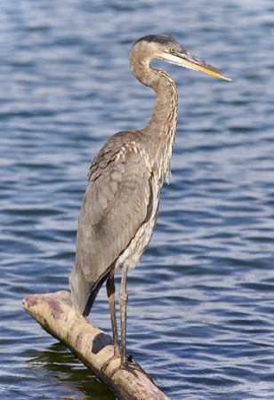 Picture with a great blue heron standing on a log Stock Photo