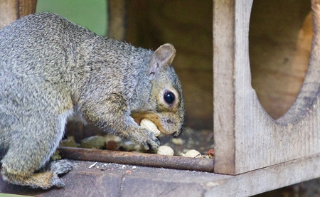 Photo of a funny squirrel eating nuts in forest