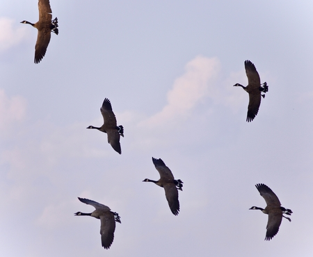 Image of six Canada geese flying in the blue sky Stock Photo