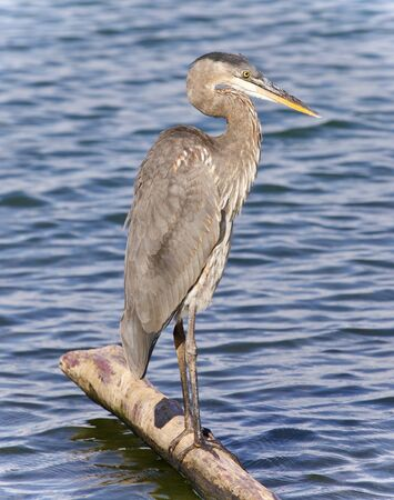 Postcard with a great blue heron standing on a log Stock Photo