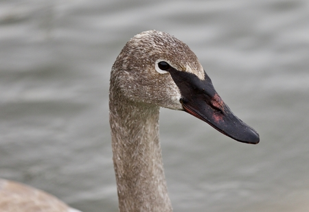 Isolated picture with a trumpeter swan swimming