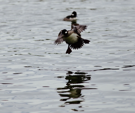 Isolated photo of a cute duck landing on a lake