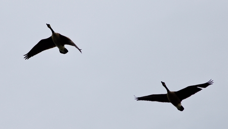 Postcard with a couple of Canada geese flying