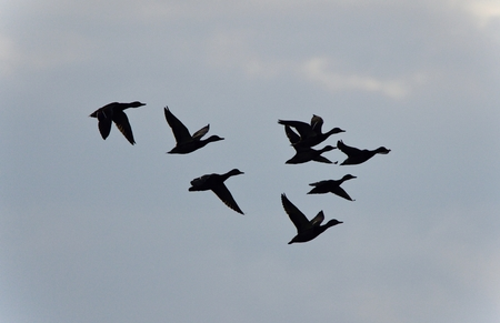 Isolated photo of a group of mallards flying