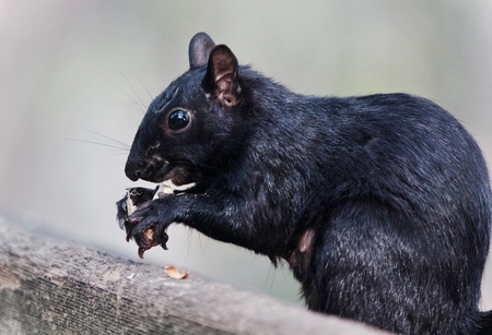 Isolated photo of a funny squirrel eating nuts