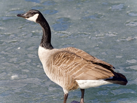 Isolated image of a Canada goose standing on ice