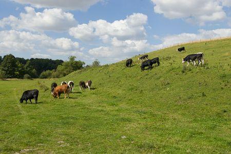 cows Stock Photo - 3466440