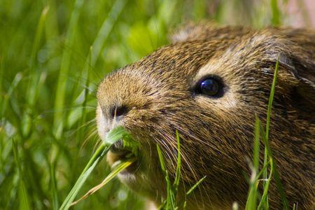 guinea pig Stock Photo - 6052522