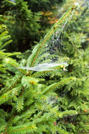 the spider web at the evergreen tree photo
