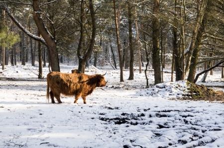 herbivore: scittische buffalo Stock Photo