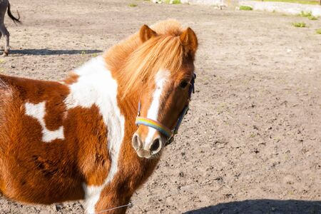 piebald: little red pony with white patches. pet