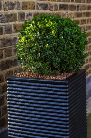 boxwood: Boxwood cut in the shape of a sphere Stock Photo