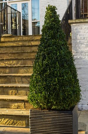 boxwood: boxwood tree stands in front of the house Stock Photo