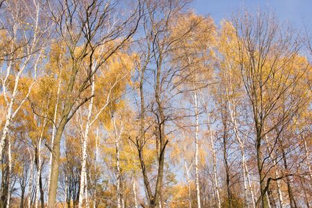 seson: a birch forest during autumn seson in Poland