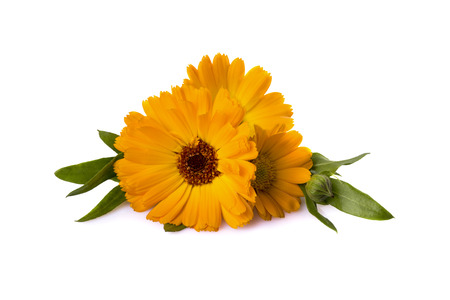 calendula officinalis with leaves on a white background