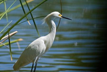 wade: White Egret