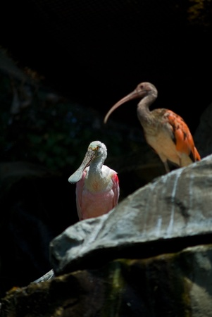 Scarlet Ibis and Roseate Spoonbill