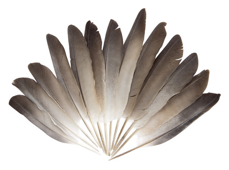 black feather: Pigeon feathers on a white background