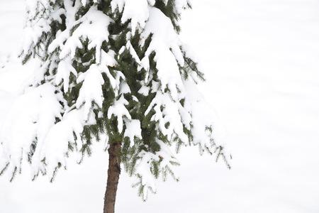 fir  tree: The fir tree under the snow