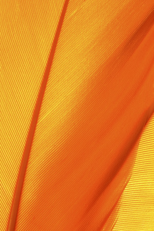 Orange feather texture close up