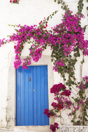 manacle: Blue wooden door with a bougainvillea bunch