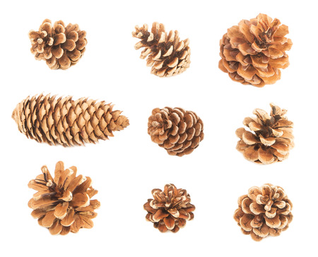 acorn seed: Pine cones isolated on white
