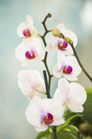 white orchids: White orchids close up Stock Photo