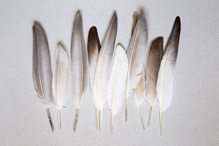black feather: Oigeon feathers on a gray background Stock Photo