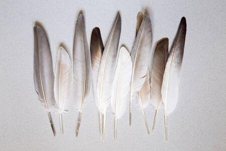 pluma: Plumas Oigeon sobre un fondo gris Foto de archivo