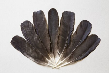 feathering: Black raven feathers on a gray background