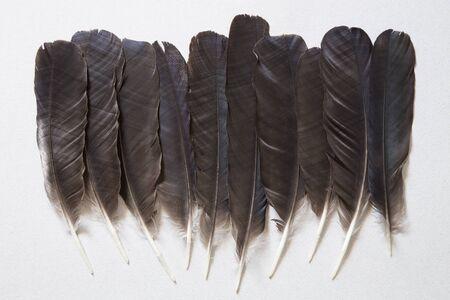black raven: Black raven feathers on a gray background