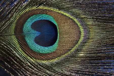 background textures: Peacock feather close up