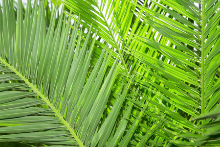 cycadaceae: Palm tree leaves close up