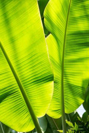 l natural: The banana tree leaves close up