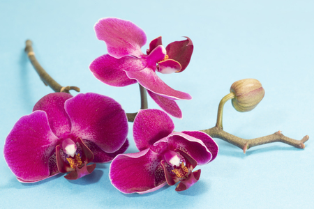 Purple orchid on blue background 免版税图像