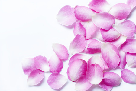Pink rose petals on white background