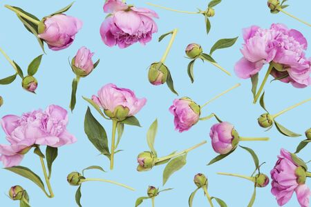 Pink peonies on blue background