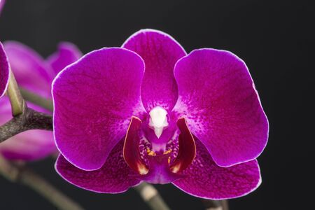 Single purple orchid over black background