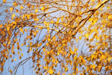 Branch with the dry yellow autumn leaves Imagens