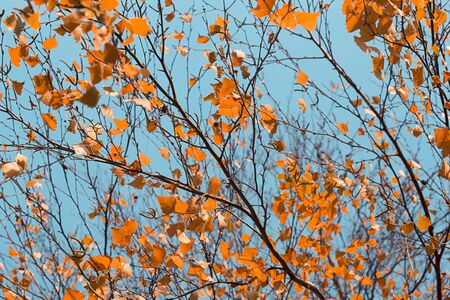 Branch with the dry yellow autumn leaves Stock Photo