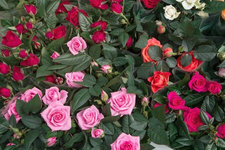 Red and pink roses background